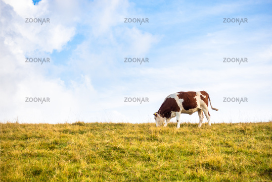 lonely cow in the meadow