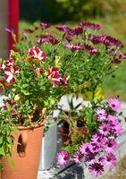 Sommerblumen im Garten Petunien und