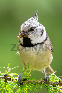 Close-up of crested tit sitting on a larch branch holding insect in beak