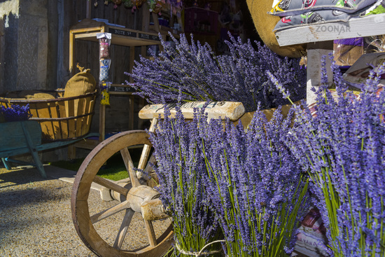 decoration with typical lavender bushes