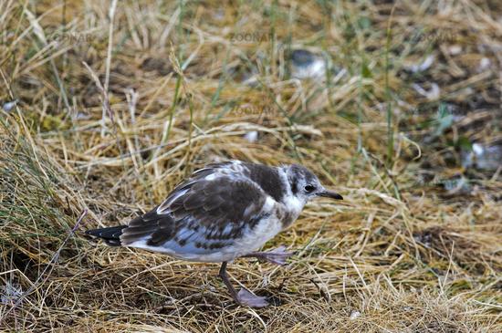 Juvenile Black-headed gull (Chroicocephalus ridibundus), North Sea coast, Schleswig-Holstein,Germany
