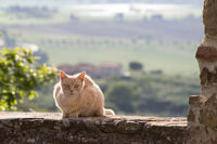 Brown cat sitting on stone wall in Tuscany, Italy