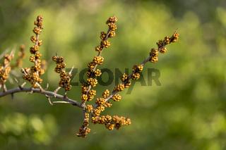 Sanddorn (Hippophae rhamnoides), Blütenknospen