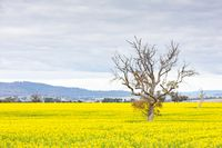 Canola Fields Near Smeaton in Victoria Australia
