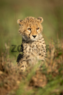 Cheetah cub sits in grass looking right