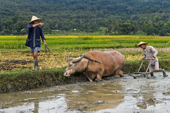 Two young men ploughing a paddy rice plot with a water buffalo, Luang Prabang, Laos