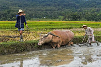 Two young men ploughing a paddy rice plot with a water buffalo, Luang Prabang, Laos