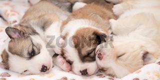 Welpen (4) - Islandhunde