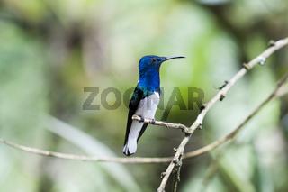 Blauer Kolibri (Trochilidae) sitzt auf einem Ast