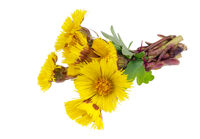 Bouquet from gentle  first forest springs yellow daisies   flowers isolated macro