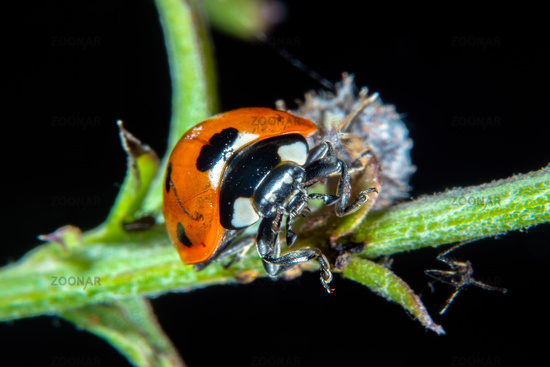 Ladybug on a thistle with plant lice