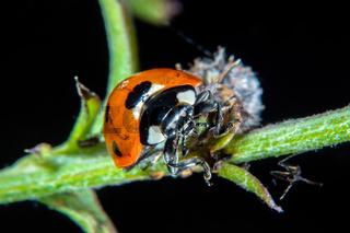 Ladybug on a thistle