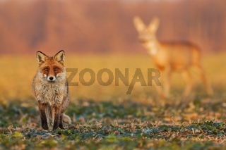 Male fox standing on the field and watching, roe deer walking in the background.