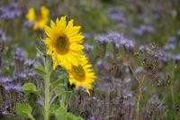 Sonnenblumen und Bienenfreund (Phacelia)