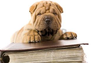 Purebred beige sharpei puppy dogs
