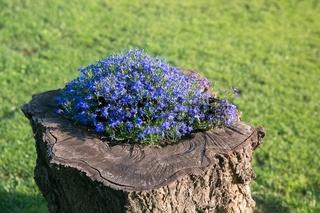 Lobelia on a tree stump