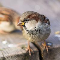 Curious sparrow bird