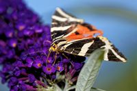 Jersey Tiger on a butterfly bush