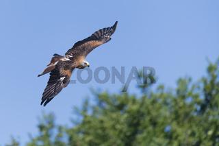 Rotmilan im Flug, Milvus milvus, Red Kite flying