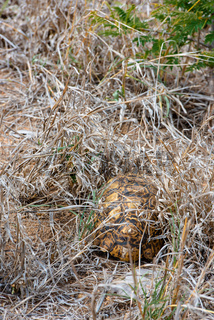 African Leopard Tortoise hiding underneath the grass