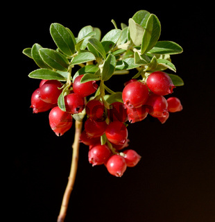 Cranberry, Vaccinium macrocarpon, Moosbeere
