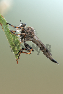 Burschen-Raubfliege (Tolmerus cingulatus)