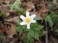 Blooming anemone nemorosa in a forest