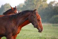 brown horses on pasture outdoors