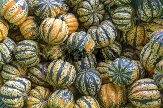 Mehrere Chamäleon Kürbisse im Herbst