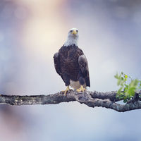 Bald Eagle Perching on a tree