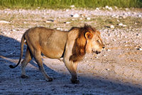 Male lion, Kgalagadi Transfrontier National Park, South Africa, (Panthera leo)