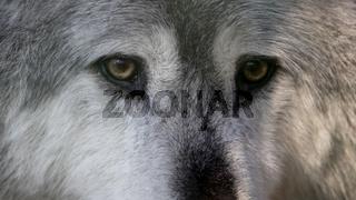 Wolf im Porträt