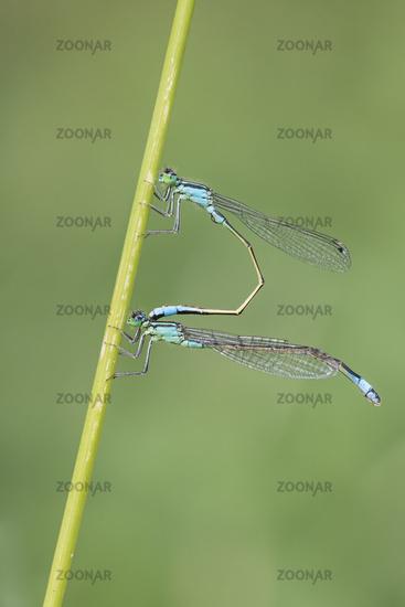White Legged Damselfly mating, Platycnemis pennipes