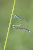 White Legged Damselfly mating, Platycnemis pennipes