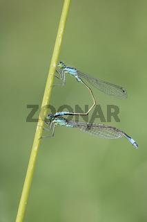 Blaue Federlibelle,Platycnemis pennipes, White Legged Damselfly
