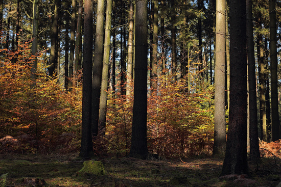 Young beech trees in spruce forest