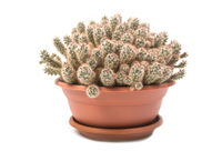 Cactus Mammillaria prolifera in a pot isolated on white background