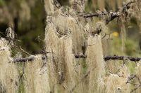 Beard lichens