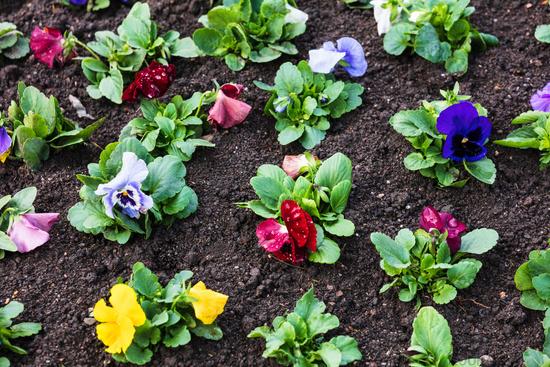 seedlings of flowers in flower bed
