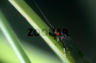 black caddis fly (Notidobia)