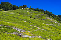 Terraced vineyards in the UNESCO-listed Lavaux vineyard region, Rivaz, Vaud, Switzerland