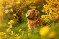 Dog lying in a spring meadow