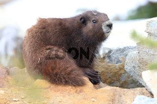 Vancouver Island Marmot, Marmota vancouverensis,Mount Washington, Vancouver Island, BC, Canada