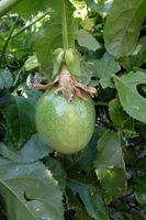 immature fruit of Passiflora (Passiflora incarnata)