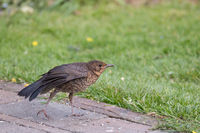 Speckled European Blackbird fledgling stretching its wing in Sussex Garden.