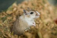 Mongolian gerbils (Meriones), pet