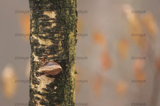Birch tree (Betula)