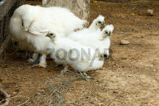 Mom and her baby Chickens bundling together