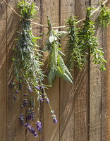 Culinary herbs drying in the sun