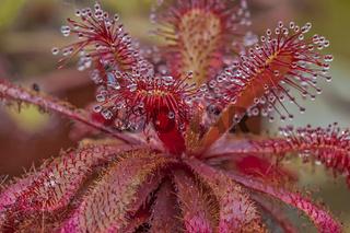 A Sundew Carnivorous Plant (Drosera Previfolia)